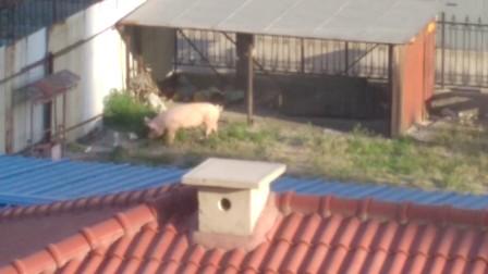 素材积累猪