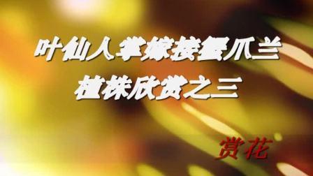 叶仙人掌 木麒麟 嫁接两种颜色蟹爪兰植株欣赏之五