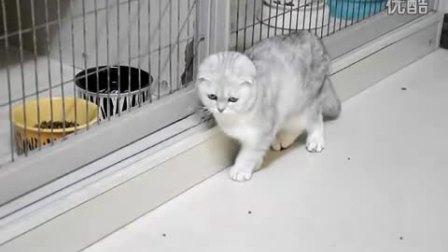 耀扬名猫舍赛级银色渐层折耳猫苏格兰折耳猫MM视频