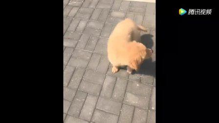 金毛轮胎的儿子第一次下楼梯, 小狗动作把女主逗得咯咯笑不停
