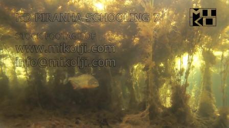 野外水下拍摄水草丛中的野生水虎