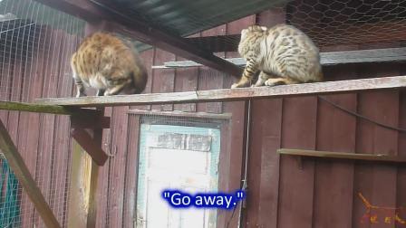Juvenile Kittens 240612