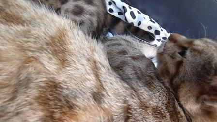Bessy Brigit kittens 180810