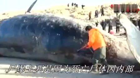 鲸鱼尸体回收突然爆炸清理工当场吓懵惊叫跑开