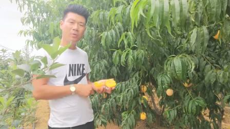锦绣黄桃树苗
