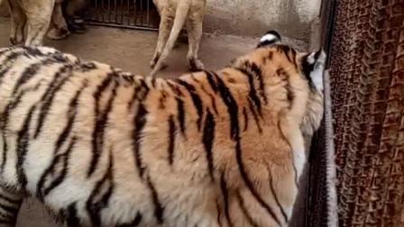 狮虎斗视频,小亚洲狮把一群成年雄性东北虎给打得怀疑人生,一只幼狮,就可以秒杀全世界所有的老虎