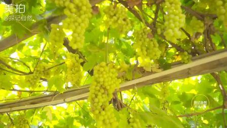 葡萄熟了, 自然风干变葡萄干