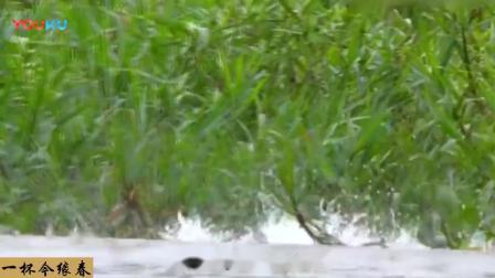 豹子游泳过河, 遭到鳄鱼水中偷袭, 豹 送上门的大鱼不吃白不吃