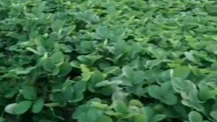 红颜草莓苗 红颜草莓苗种植基地 红颜草莓苗种植技术 大棚草莓苗种植技术