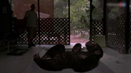 实拍一只看起来十分无聊的大猩猩,度日如年的感觉!