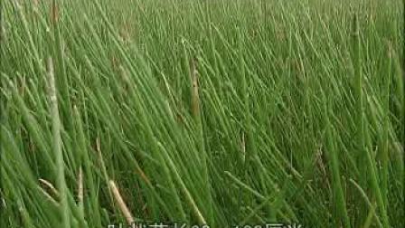 菱角荸荠栽培技术