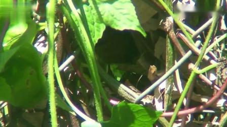 超隐蔽的鸟窝里有几只小鸟.mp4
