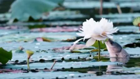 世间奇景 鱼吃莲花