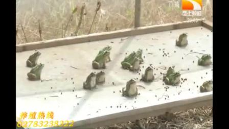 湖北天泽惠丰生态农业发展有限公司-青蛙养殖加盟致富分析视频