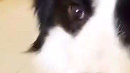 狗子:你是吃的粑粑吗?#搞笑视频共享