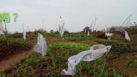小鸟儿很傻吗?几个破塑料袋都能把它们吓跑?