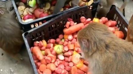 天冷了,多吃一点点。#猴子