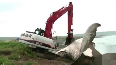 这是什么吨位的鱼,挖掘机都快拉进水里了!