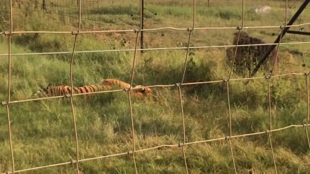 壮年雄性白虎被狮子打怕了,母虎也被狮子抢占了,看到狮子只能绕道而行。