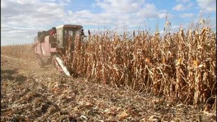 玉米收割啦