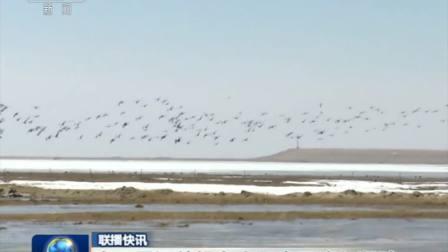 上万只迁徙候鸟齐聚查干淖尔湖畔