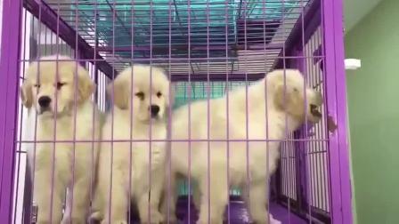 金毛犬好养吗 金毛犬视频 金毛犬价格