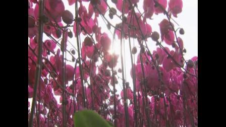 种出特级蝴蝶兰--葫芦岛科协