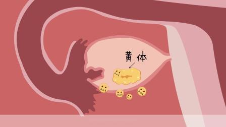 【孕4周】孕期知识、早孕反应、孕妇变化