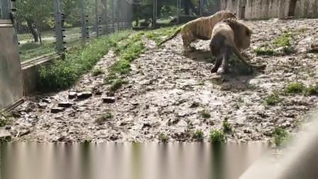 同时发情的雄性狮虎在一起,狮子霸占雌性东北虎还不忘教训雄性东北虎。