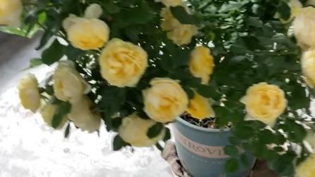 🌹金丝雀树月季玫瑰🌹
