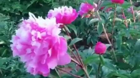 花卉欣赏:牡丹写真