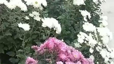 花卉欣赏:菊花写真