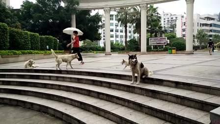 2019年6月6日,南平市延平区体育公园野狗泛滥成灾,无人管理