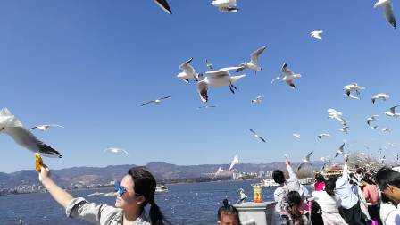 云南昆明滇池海埂大坝湿地鸥漫天飞舞、遮天蔽日