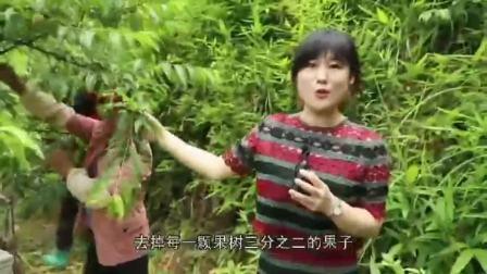 炎陵锦绣黄桃成长过程