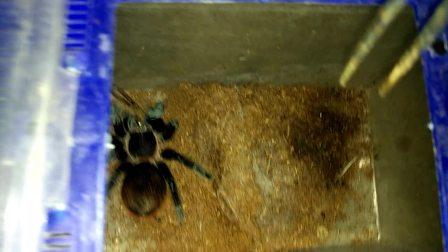 墨西哥红尾捕鸟蛛捕食白额高脚蛛