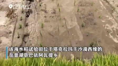 世界稻都网丨新疆海水稻试验田