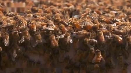 【单创小倪】凭什么麦卢卡蜂蜜一小瓶能卖上千元?看生产过程是交了智商税!