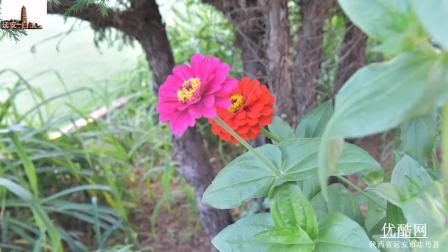 花卉欣赏 延安-白玉安