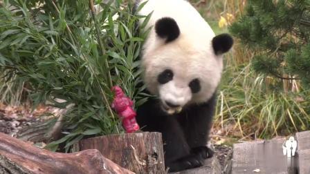 【大熊猫梦梦】【大熊猫娇庆】圣诞节和雪 - 梦梦的圣诞节