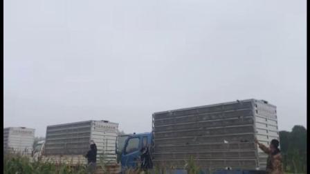 山东舜航赛鸽公棚9月16日首次10Km训放视频