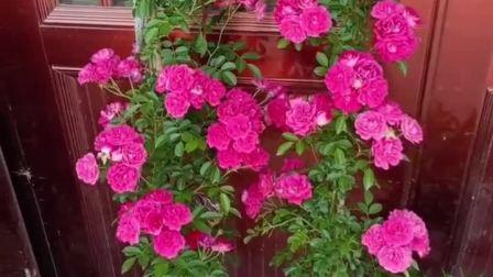 君晓天云阳台浓香微型月季花苗甜蜜马车四季开花玫瑰盆栽花园多花绿植花卉
