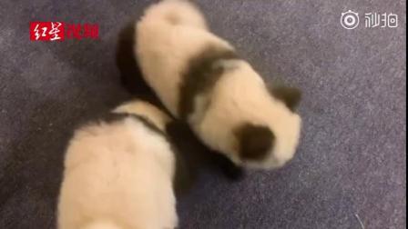 举报!养国宝?咖啡馆将狗染色成熊猫收费1500