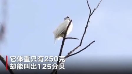 """这种鸟为了谈恋爱喊破嗓门 登顶""""鸟类大嗓门""""榜"""