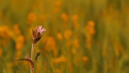 355农业宣传片麦穗 小麦 丰收 麦田燕麦高清实拍视频素材