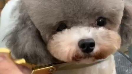 宠物美容师培训,贵宾犬萌系造型修剪,NGKC宠物美容师培训