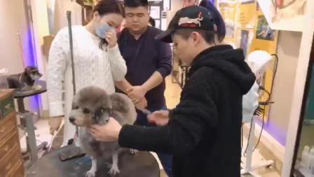 宠物美容师培训,泰迪肖恩造型修剪,拯救打结严重的狗狗,NGKC指定四星级培训学校