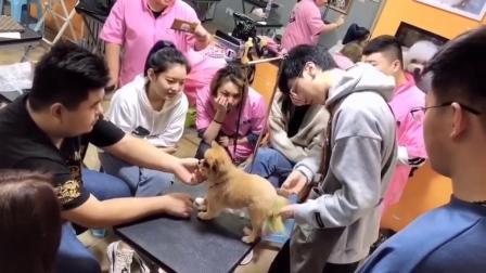 宠物美容师培训,博美犬俊介装修剪演示课堂,NGKC指定四星级培训学校