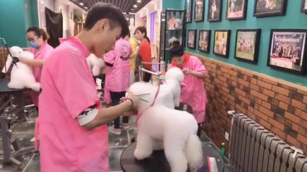 NGKC宠物美容师培训,比熊犬修剪,全部真狗练习人手一只,乐秀宠物美容师培训学校