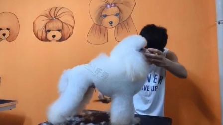 宠物美容师培训,贵宾犬幼狮装开型及细修,山东乐秀宠物美容培训学校